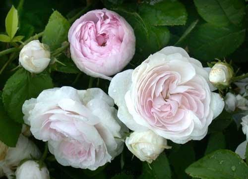 Small-Maidens-Blush, 1797, Alba-Rose