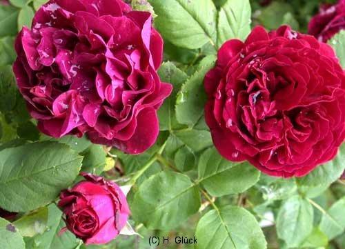 Souvenir du Docteur Jamain, Züchter: Lacharme, 1865, Remontant-Rose