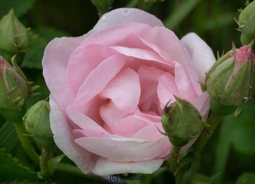 Velutinaeflora, Syn. Velutiniflora, Herkunft unbekannt, vor 1872, Gallica-Rose