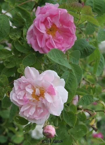 York and Lancaster  Syn.Rosa damascena versicolor, seit 1551, Damaszener-Rose