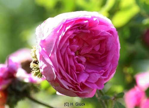 Rosa Centifolia Cristata Syn. Chapeu de Napoleon, Crested Moss, Crested Provence, Züchter unbekannt, 1820 gefunden in der Schweiz, Zentifolie, Moosrose