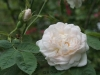 Blanche De Belgique, Züchter: Vibert, 1817, Alba-Rose