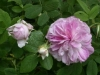 Blush Damasc, Züchter: Lawson, 1853, Damaszener-Rose
