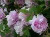 Blush Hip, Herkunft unbekannt, 1846, Alba-Rose