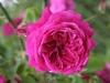 Brennus, Züchter: Laffay, 1830, Gallica-Rose