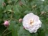 Champneys Pink Cluster, Züchter Champney, 1811, Noisette-Rose