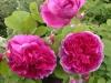 Fulgens (Malton), Züchter: Vibert, ca. 1830, Bourbon-Rose