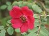 Geranium, Syn. Mandarin-Rose, Blutrose, Rote Büschelrose Wisley Garden's, 1945, Rosa moyesii