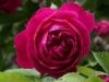 Geschwinds Schönste, Züchter:Geschwind, 1900, Multiflora-Hybride