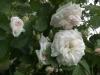 Jeanne D´Arc, Züchter: Vibert, 1818, Alba-Rose