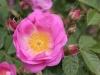 Rosa rubiginosa Magnifica, Züchter: Hesse, 1916, Rosa rubiginosa