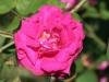 Marbree, Züchter: Moreau und Robert, 1858, Portland-Rose