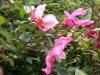 "Mutabilis, Syn. ""Tipo Idéale"", in Italien eingeführt 1934, China-Rose"