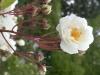 Neige d'Avril, Züchter: Robichon, 1908, Multiflora Hybride