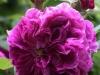 Prolifere aus England um 1800, Rosa centifolia muscosa (Moosrose)