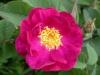 Violacea Maheka, vermutlich aus den Niederlanden, 18. Jahrhundert, von Dupont vor 1811 in Frankreich eingeführt, Gallica-Rose