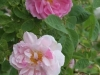 York and Lancaster  Syn.Rosa damascena versicolor, seit 1551, Damaszener-Rose