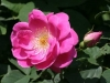 Griseldis, Züchter: Geschwind, 1895, Bourbon-Rose