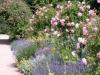 Lavendel und Rosen, prima Partner im Rosengarten, Park Rosenhöhe, Darmstadt
