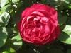 Ascot®, Rosen Tantau 2007