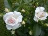 Aspirin Rose®, Tantau 1997