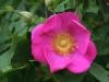 'Rosa virginiana' Miller, vor 1807 eingeführt