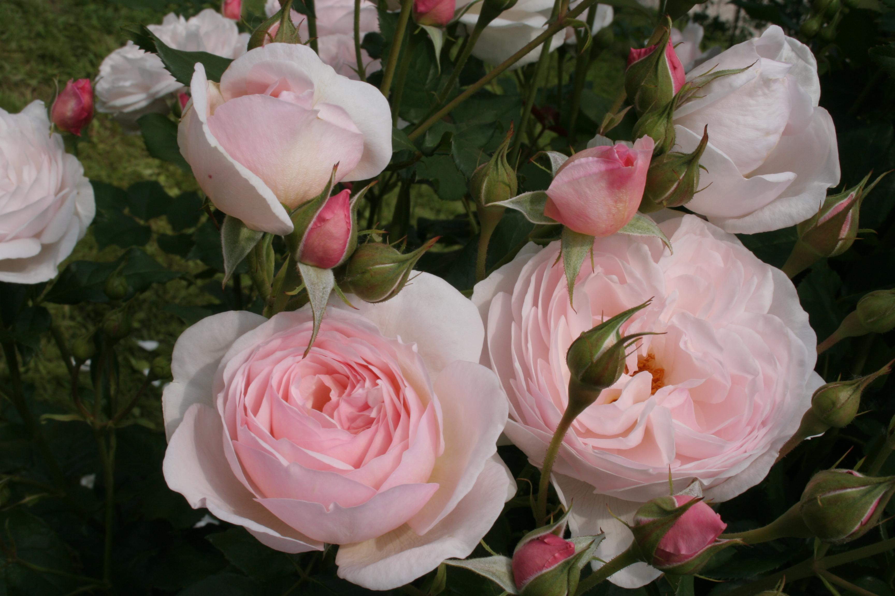 bilder rezepte und informationen zur sch nsten blume der welt die zauberhafte welt der rosen. Black Bedroom Furniture Sets. Home Design Ideas
