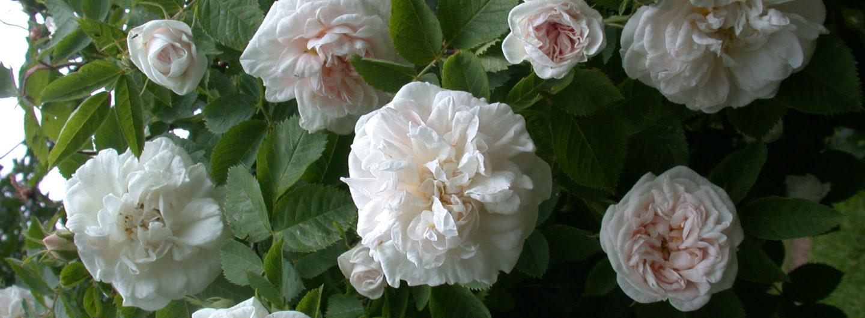 Die zauberhafte Welt der Rosen